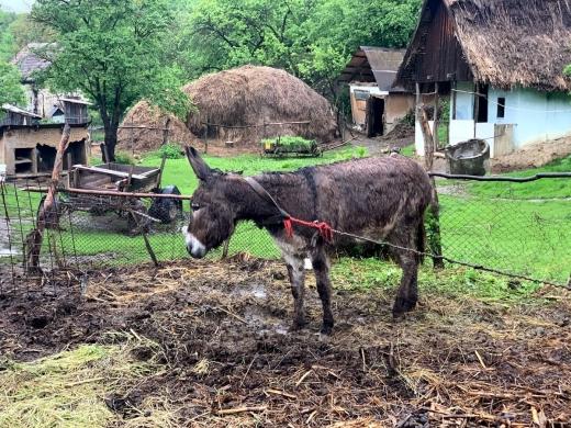 """VIDEO. Animale CHINUITE, într-un sat din Cluj. Vecinii: """"Este sinistru, animalele merită o viață mai bună""""."""