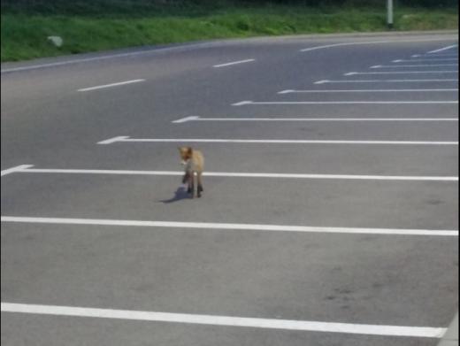 Vulpe, surprinsă pe cameră în timp ce hoinărea pe lângă un liceu din Florești. VIDEO
