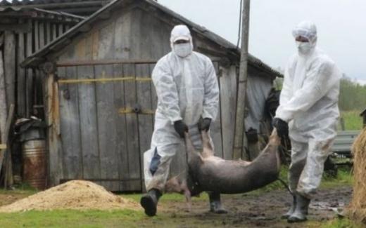 FOCAR de pestă porcină, depistat la Cluj. 631 de focare sunt active în România